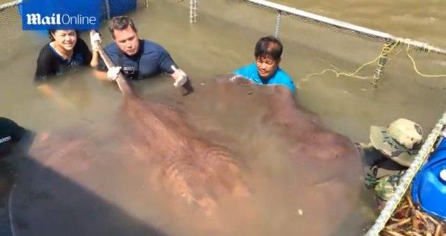 Спіймано найбільшу прісноводну рибу в світі (відео)