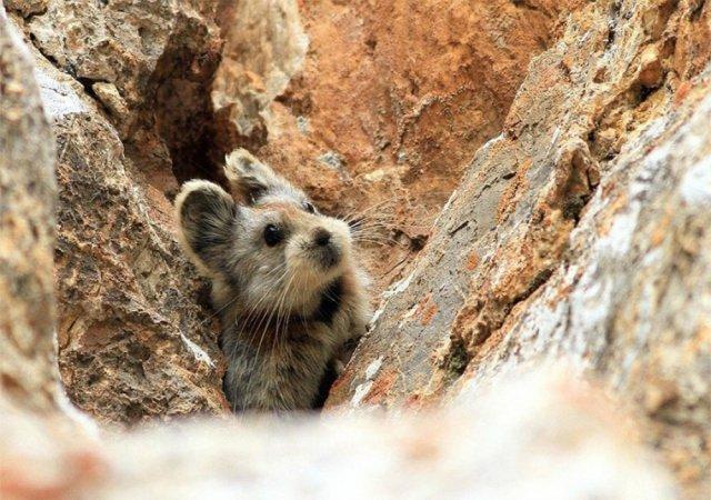 Рідкісний кролик, якого вдалося сфотографувати вперше за 20 років