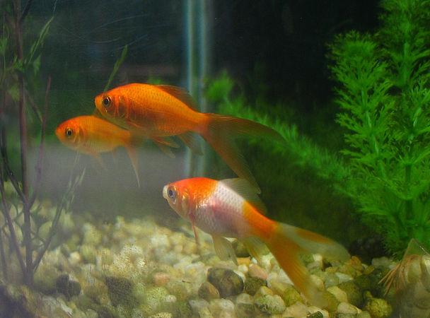Озеро в США захопили золоті рибки
