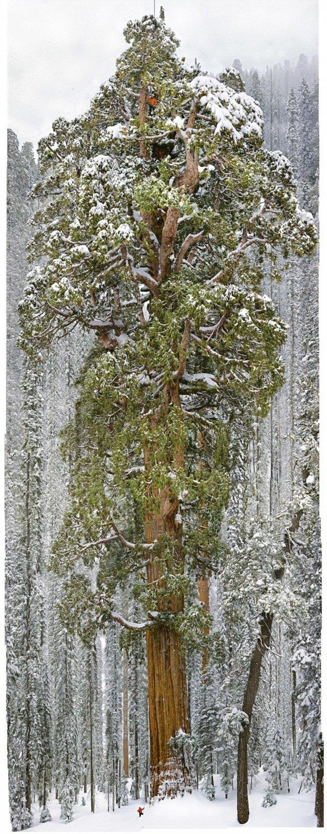 Як фотографували найбільше дерево світу (фото, відео)
