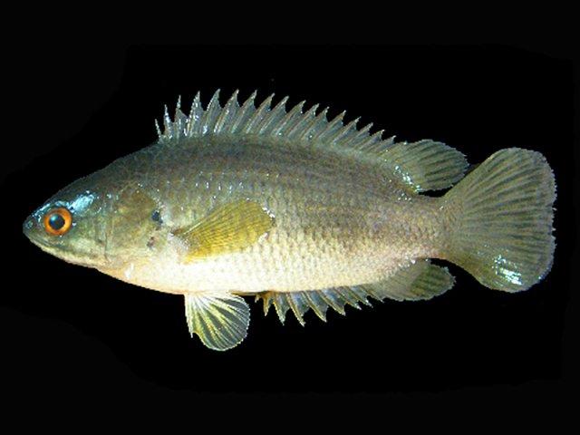 Сухопутні риби-вбивці можуть напасти на Австралію (відео)