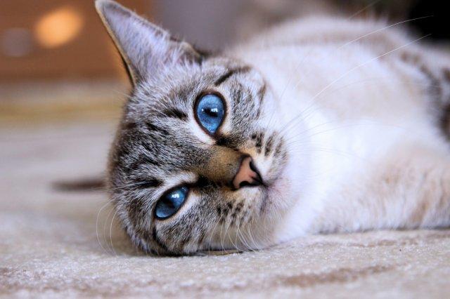 Чому кішки вибагливі до їжі?