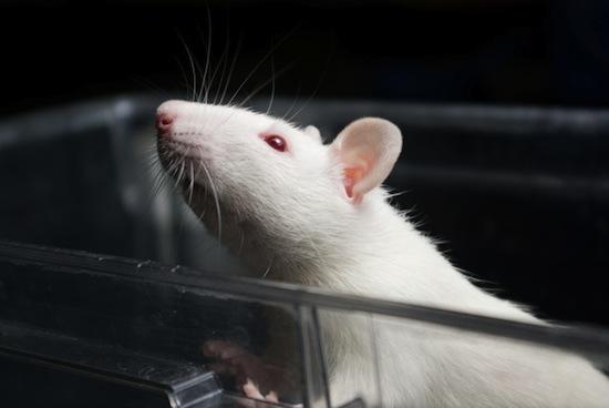 Порядок в суспільстві щурів. Результати експерименту (відео)