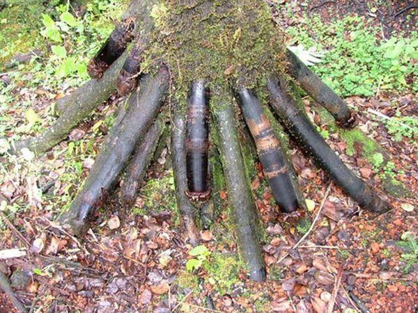 Пальма з незвичайною формою коріння (фото)