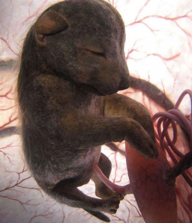 Захоплюючі зображення ще ненароджених тварини у лоні матері (фото)