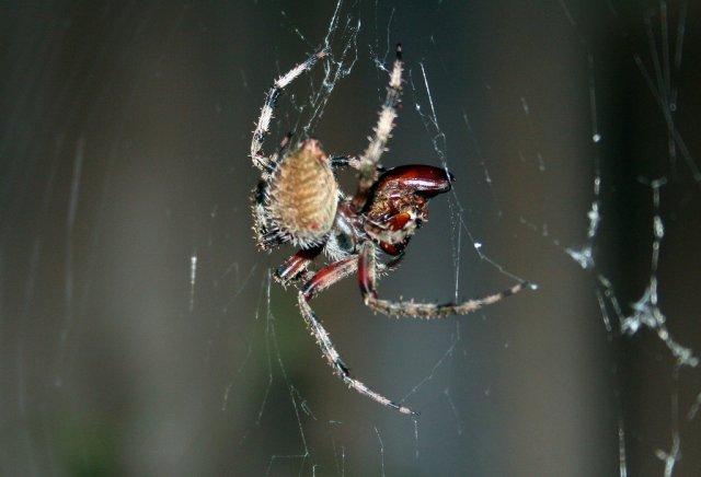 Шлюбні ігри павуків