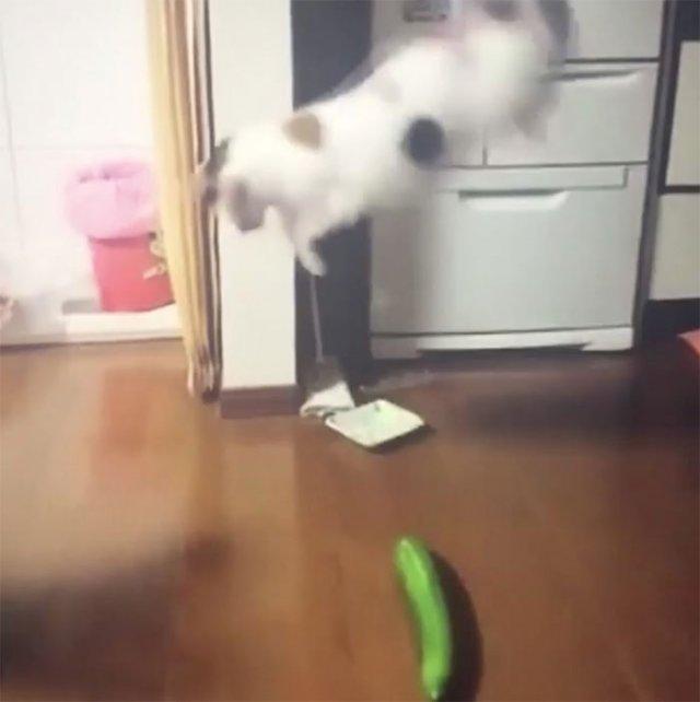 Чому коти бояться огірків? (відео)
