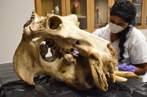 Дивні й незвичні черепи різних тварин (фото)