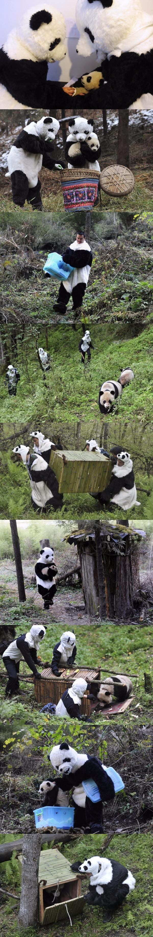 Як виховують маленьких панд в зоопарках (фото)