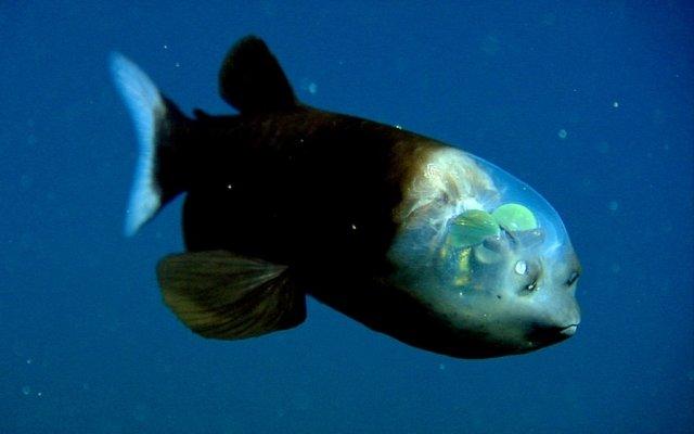 Риба з прозорою головою