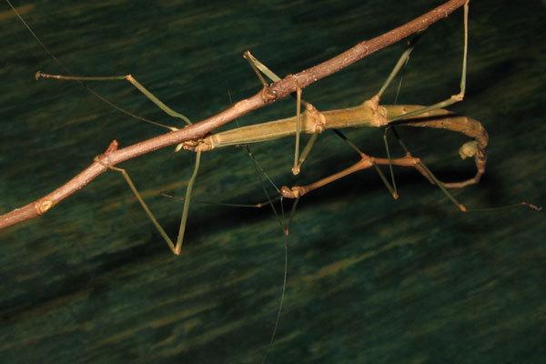 10 найбільших у світі комах (фото)