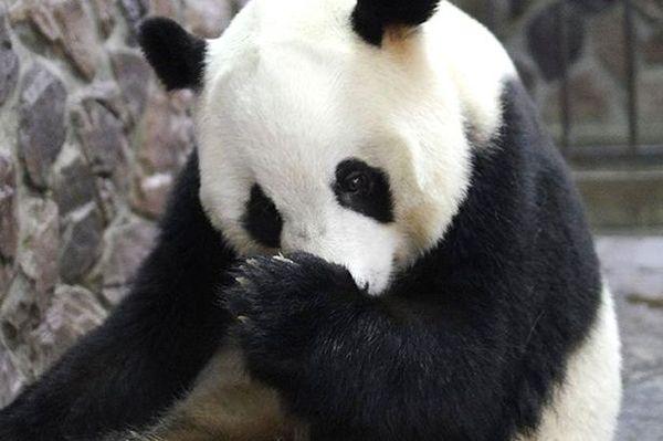 У Китаї фотограф вловив рідкісний момент народження панди