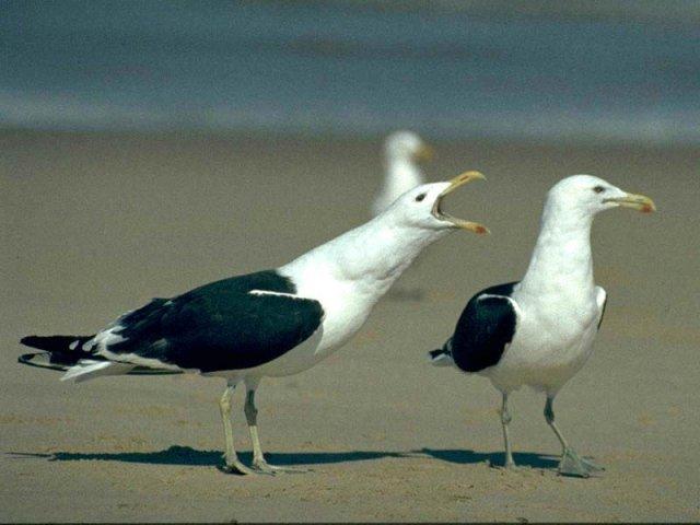 Чайки та стосунки