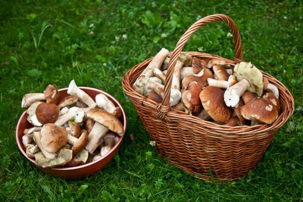 Зрізати чи зривати? Як правильно збирати гриби