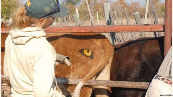 Для чого коровам намальовані ззаду очі?