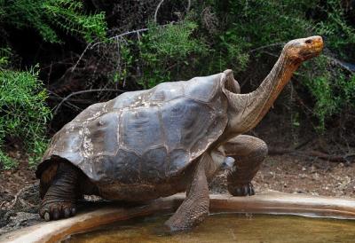 Самець галапагоської черепахи наодинці врятував свій вид від вимирання