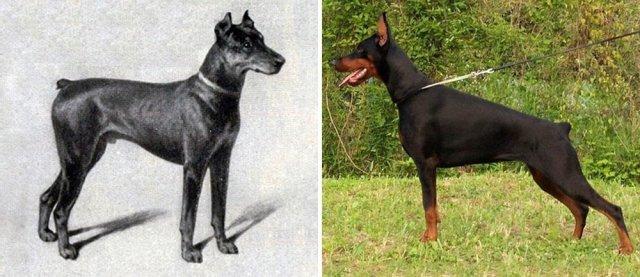 Як змінилися породи собак за останні 100 років (фото)