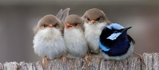 Перш, ніж отримати їжу, пташенята кольорових малюрів повинні заспівати «пароль»