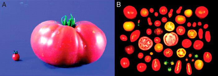 Генетики зрозуміли, як повернути помідорам смак і запах, відібрані селекціонерами