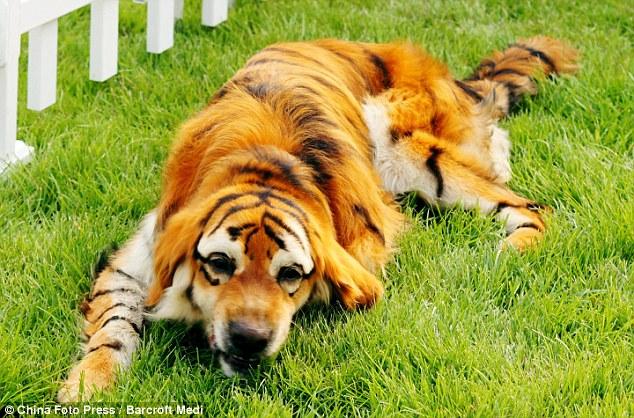 Песики-панди і песики-тигри: нова китайська мода (фото)