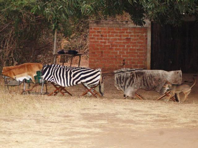 Для чого зебрі смужки? Як вчений розгадав секрет чорно-білих тварин