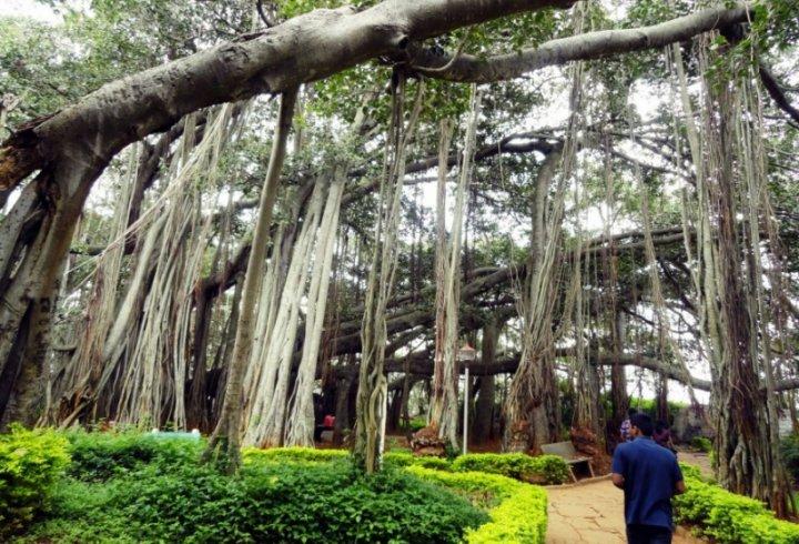 В Індії росте дерево, яке займає площу 1,5 гектари