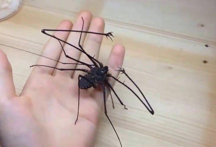 Фрін - павук з руками (відео)