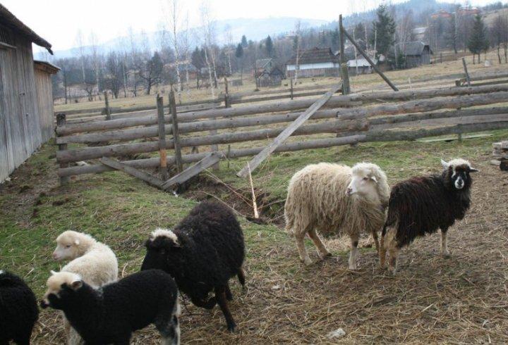 На фермі в Прикарпатті людей лікують спілкуванням з вівцями