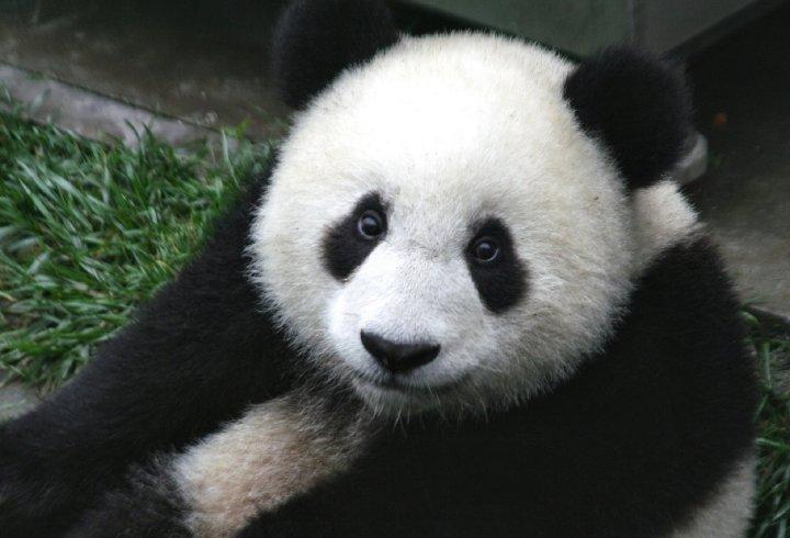 Чому панди чорно-білі? (відео)