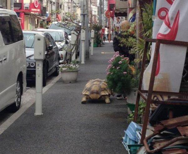 Терпеливий чоловік вигулює черепаху вулицями Токіо (фото)