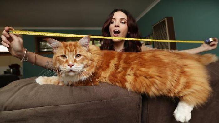 Омар - найдовший кіт у світі (фото)