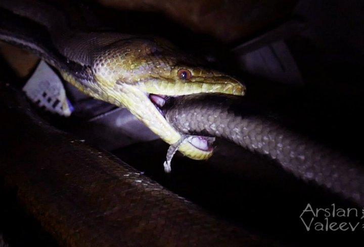Чому змії іноді нападають самі на себе?