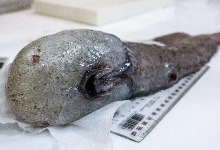 В Австралії спіймали рибу без «обличчя»