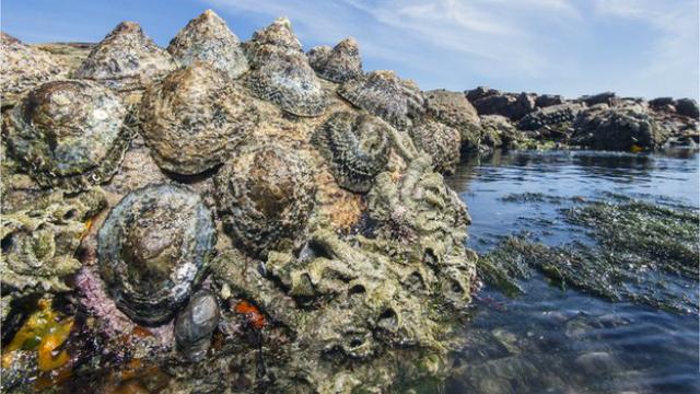 Найміцніший біологічний матеріал виявили в зубах морських равликів
