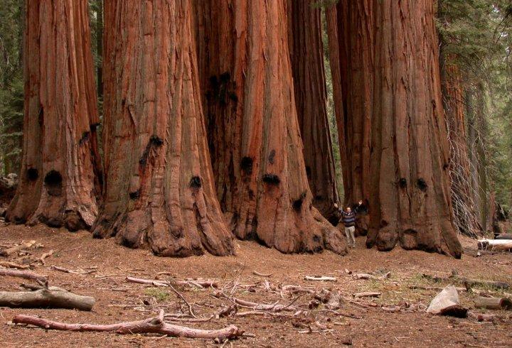 Cеквойядендрон - дерево, яке розмножується при пожежі