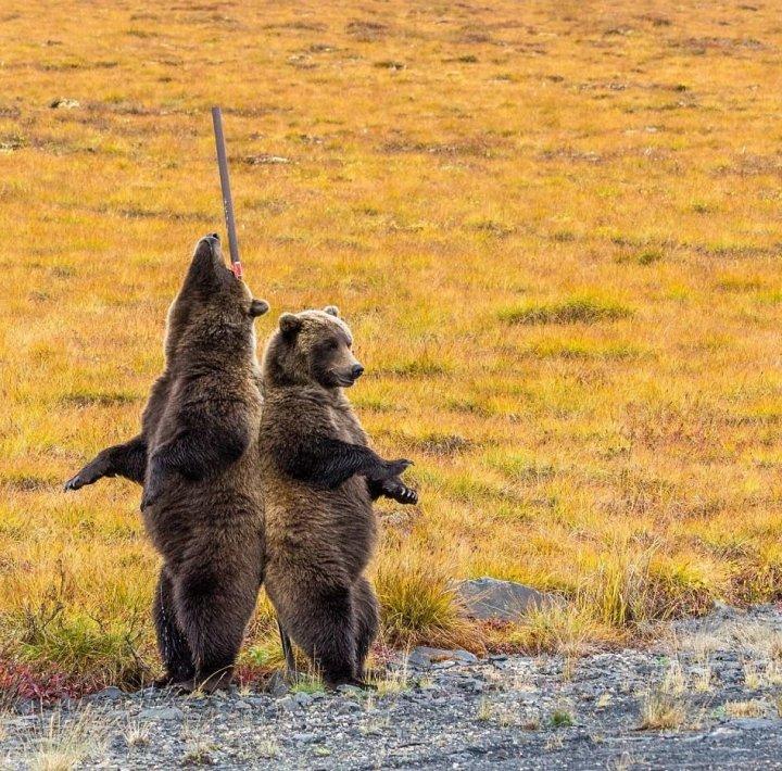 Фотограф зняв цікаві кадри з ведмедями (фото)