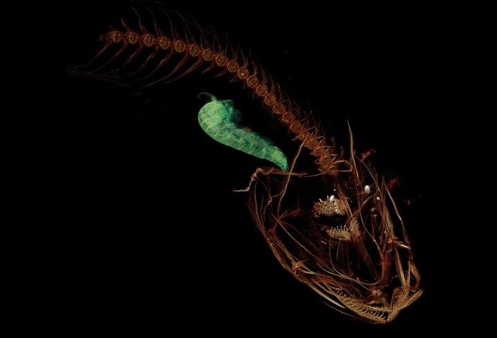 Риба, яка живе на глибині 8 км (фото)