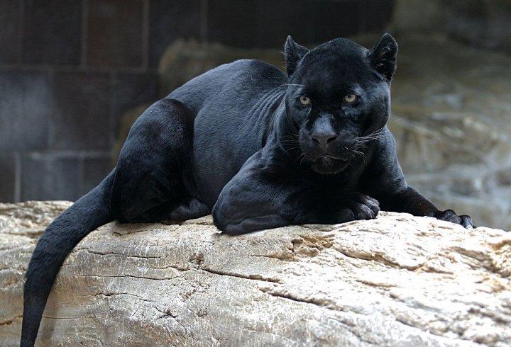 Хто така чорна пантера? (фото)
