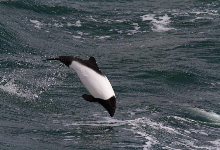 Дельфін-панда (фото)