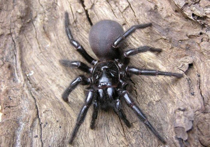 Арахнофобія: 10 найстрашніших павуків Австралії (фото)