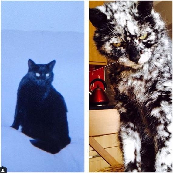 Скраппі: кіт з вітиліго (фото)