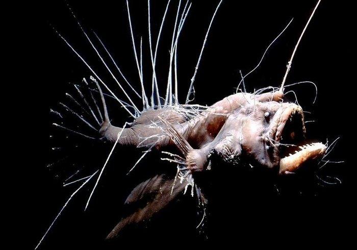 Морський чорт, або вудильник звичайний - цікаві факти