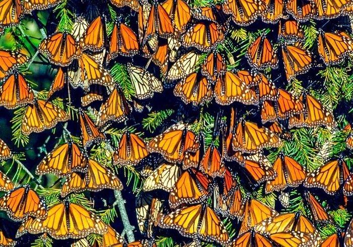 Як зимують метелики монархи (фото)