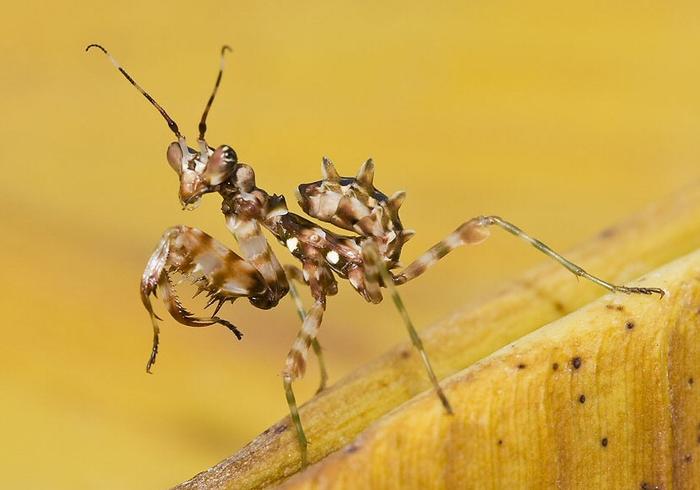 Богомоли - дивовижні комахи (фото)