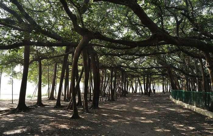 Дивовижний індійський ліс, що складається з одного-єдиного дерева (фото, відео)