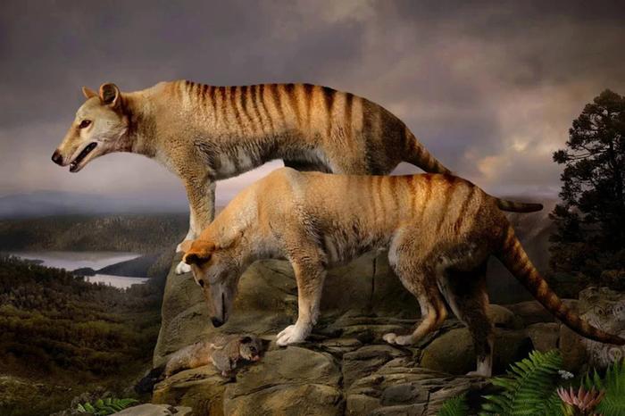 Сумчастий вовк: пошуки зниклого виду (фото)