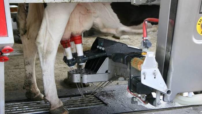 Як у Новій Зеландії доять корів
