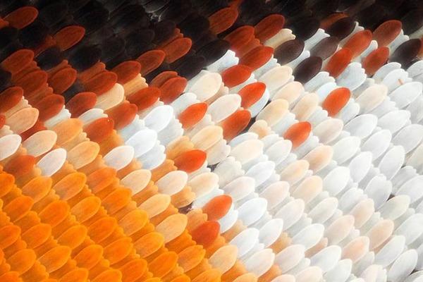 Дивовижні макрофотографії крил метеликів (фото)