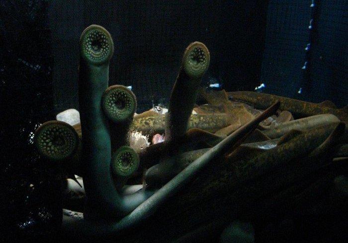 Міноги - найогидніші і найдивніші тварини, які живуть в океані (фото)