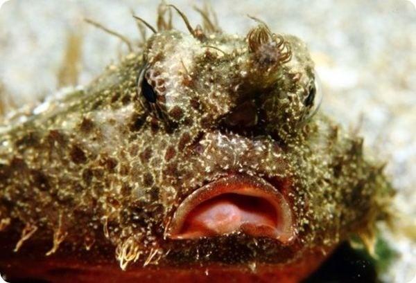 Риба-бухгалтер або морський кажан (фото)